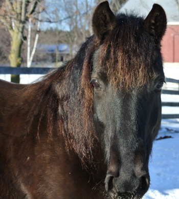 2006 Certified Rocky Mountain black gelding for sale